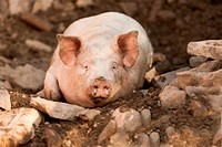 Domestic pig. Sow lying in a run. Germany