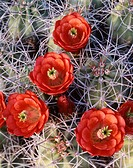 California, Joshua Tree National Park, Claret Cup Cactus wildflowers (Echinocereus triglochidiatus). (Large format sizes available)