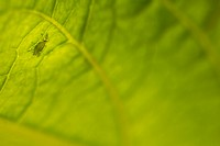 Aphid on leaf of angel's trumpet plant, Los Angeles, California