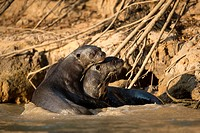 Giant otter (Pteronura brasiliensis), couple, sitting in shallow water. Pantanal, Mato Grosso, Brazil.