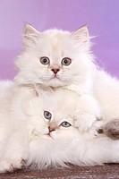 snuggling Highlander Kitten