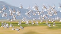 USA, Montana, Red Rock Lakes, Flock of Franklyn's Gulls in flight.