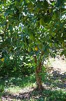 Lemon, Fruit Tree,