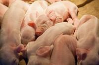 Pig, Animal, Yunlin, Taiwan, Asia,