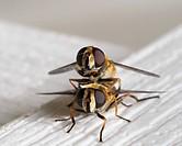 Mating Syrphid flies; Warman, Saskatchewan Canada