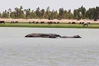 Hippopotamuses (Hippopotamus Amphibius) In The Niger River Between Sebi And Niafunke, Mali