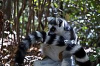 Ring Tailed Lemur (Lemur Catta), Isalo National Park, Fianarantsoa Province, Madagascar