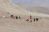 Kuchi Nomad And His Donkeys On The Kabul To Sarobi Road, Kabul Province, Afghanistan