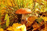 mushroom with red hat