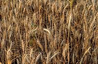 Wheatfield pune maharashtra