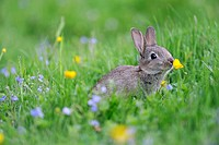 European Rabbit (Oryctolagus cuniculus) young, smelling buttercup in wildflower meadow, Chattisham, Suffolk, England, June
