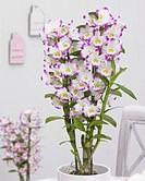 Dendrobium Nobile Irenes Smile