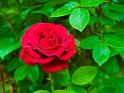 Red Rose on the Branch in the Garden