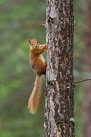 Squirrel (Sciurus vulgaris) at pine trunk, Norway