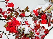 First snow on viburnum