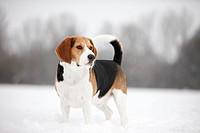 standing Beagle