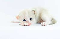 little baby kitten