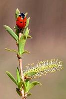 Ladybug and spring