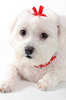 Cute puppy dog with red ribbon