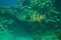 potato grouper