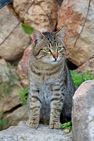 domestic cat, house cat (Felis silvestris f. catus), striped cat sitting on a step, Spain, Balearen, Majorca