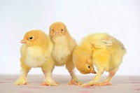 Brahma, Brahma chicken (Gallus gallus f. domestica), three cute Brahma chicken standing together and grooming