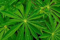 Lupine with water drops