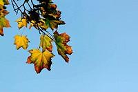 Autumn, maple leaves