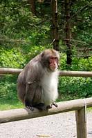 Smiling japanese monkey