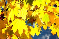 Maple Leaves (Autumn)