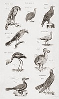 Different types of Birds. From an 18th century print.