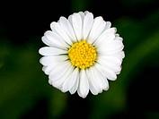 Beautiful daisy flower