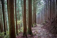 Path in Ogumotori-goe section, Kumano Kodo, Nakahechi route, Wakayama, Kinki, Japan.