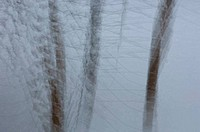Birch trees in snow abstract