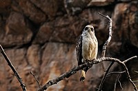 Juvenile Crested Serpent Eagle (Spilornis cheela) perched on a branch, Ranthambhore National Park, Rajasthan, India