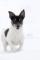 running Jack Russell Terrier