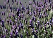 Lavender (Lavandula) flowers