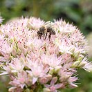 bee on flower of sedum