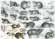 Rodentia-Rodents or Gnawing Animals (litho) (b/w photo), English School / Private Collection / Bridgeman Images