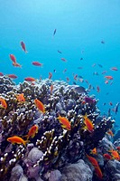 coral reef with hard corals and exotic fishes anthias at the bottom of tropical sea