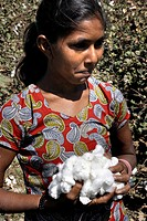 India, Gujarat, woman, with cotton