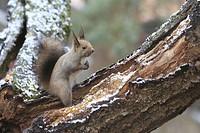 Ezo squirrel