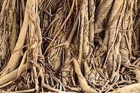 Ficus Tree Roots in Cambodia