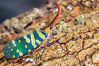 lanternfly, the insect on tree fruits. (FULGORID PLANTHOPPERS) R