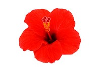 Hibiscus isolated flower on a white