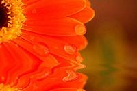 reflected daisy