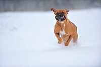 running German Boxer