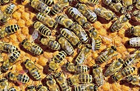 European Honey Bees (Apis mellifera var. carnica) on honeycomb with capped brood cells, Bavaria, Germany