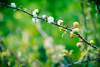 Young Chinese plum fruit and plum blossom (flower) on its tree