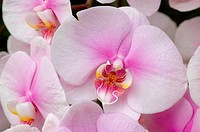 White-pink orchids